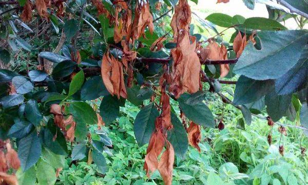 С увяданием вишни можно бороться с помощью метода омоложения