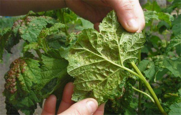 Санитарная обработка предполагает избавление от болезненных ветвей для спасения всего растения