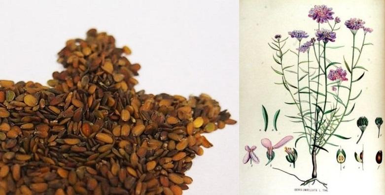 Семена ибериса