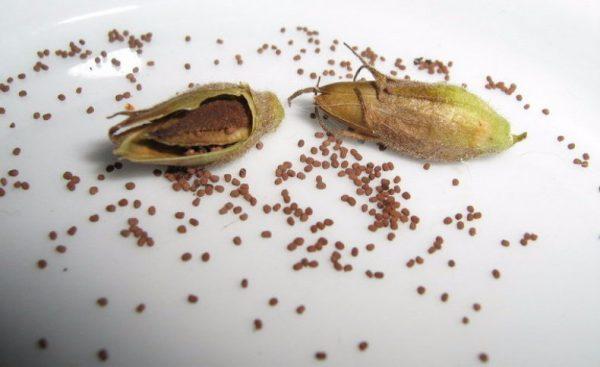 Семена можно собрать и сохранить до следующего сезона