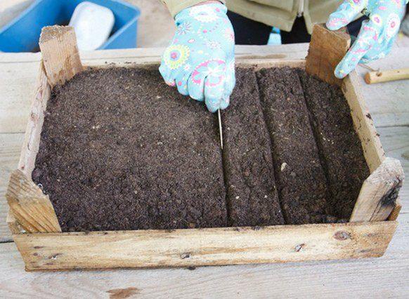 Семена высевают в ящики с торфяно-песчаной смесью