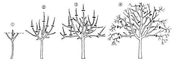 Схема обрезки груши по годам