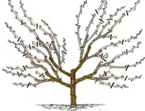 Схема обрезки кустовидной вишни в осенний период
