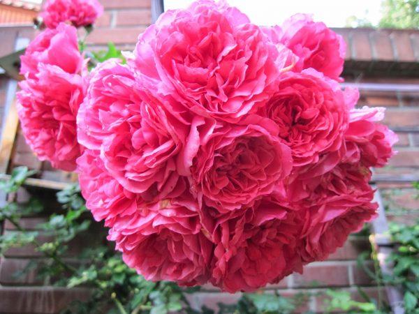 Соцветия розы клаймбер