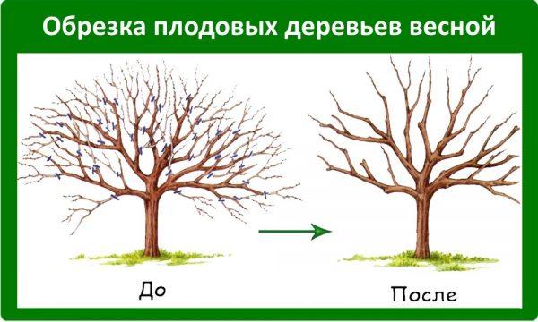 Сокращения количества побочных ветвей позволяет яблоне улучшить свою урожайность