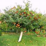 Среднерослая яблоня