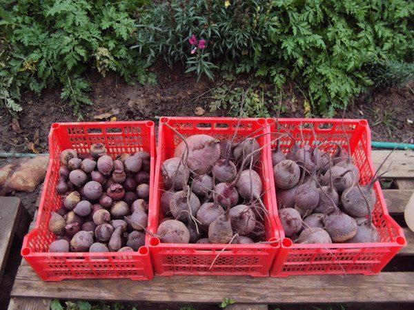Сроки хранения зависят не только от размеров, но и от сорта корнеплода