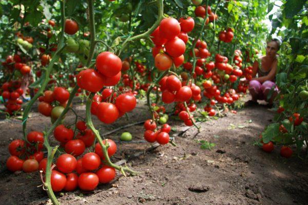 Сроки созревания помидора существенно зависят от его сорта