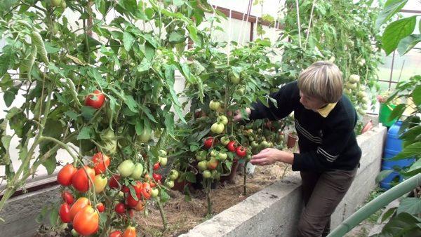 Теплицы позволяют садоводам в северных областях дождаться окончательного созревания плода