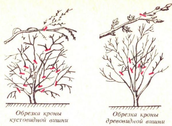 Типы вишни и методы их корректировки