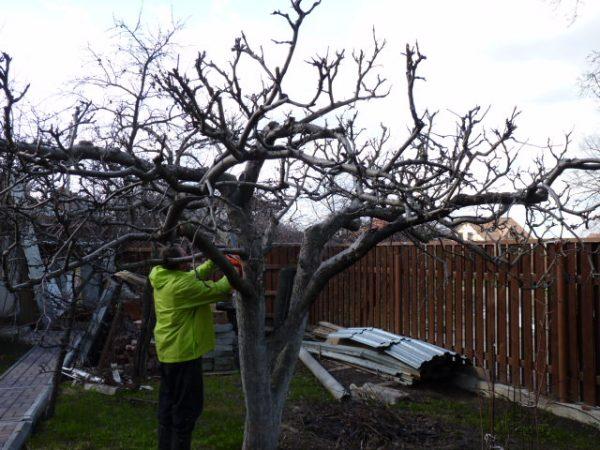 Традиционное для осеннего периода избавление от негодных ветвей распространяется и на яблоню