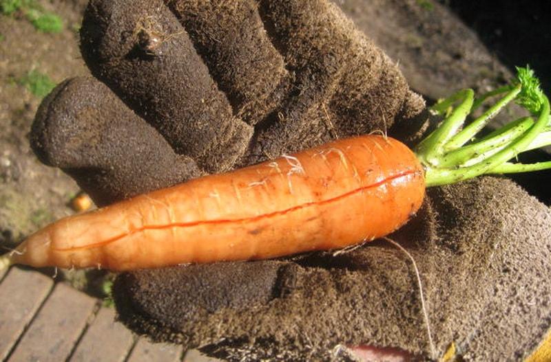 Трещины на моркови являются признаком ее плохого взращивания