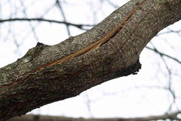 Чем раньше будет заделана трещина, тем меньший участок дерева пострадает