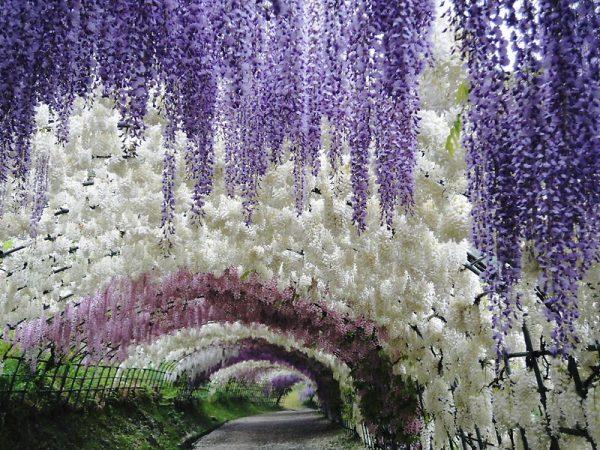 Туннель Вистерия в саду цветов Кавати Фузи