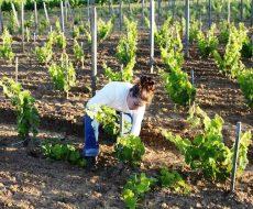 Перекапывание почвы вокруг лозы нужно, чтобы вмешать в землю все добавленные к ней удобрения