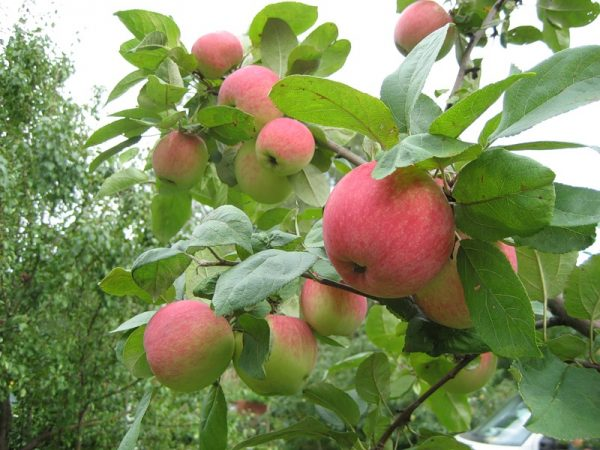 Уход и выращивание яблони