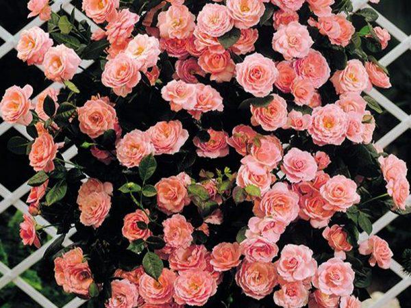 Плетистые розы - украшение сада