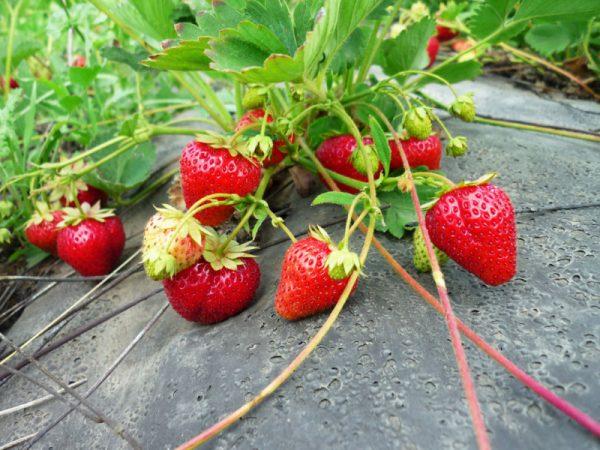 Усы потребляют растительные соки, которые могли бы пойти на развитие спелых ягод