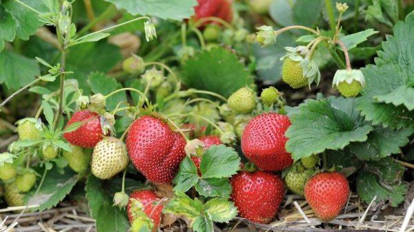 В летний сезон усы у клубники отрезаются уже после плодоношения