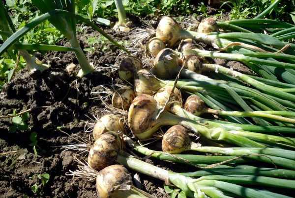 В момент созревания чешуйки у лука становятся жестче и отслаиваются от плода