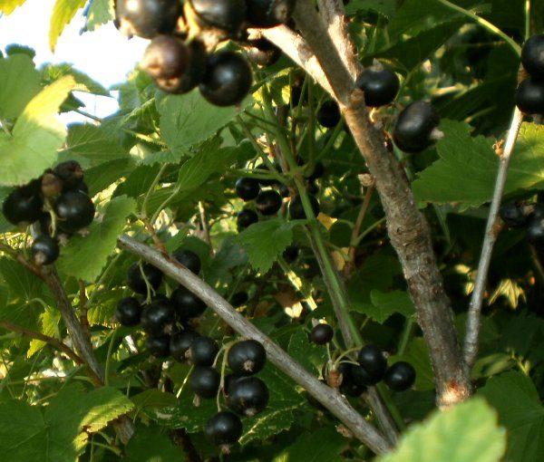 В период плодоношения корректировать ветви смородины не рекомендуется