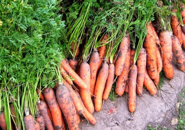 В первые сентябрьские недели морковь получает необходимый заряд витаминов