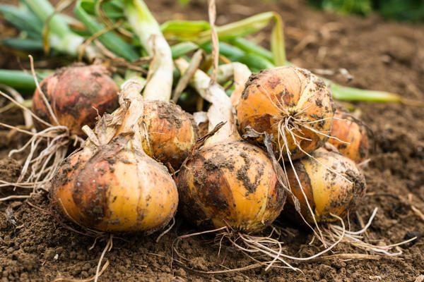 В регионах с холодной осенью вынимать луковицы советуется до наступления заморозков и обильных дождей