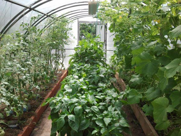 В условиях холодных зим рекомендуется выращивать свеклу в теплицах