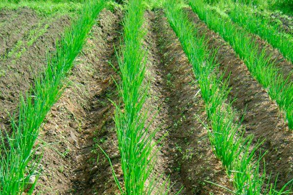 В южных областях хорошо выращиваются позднеспелые сорта, требующие теплых температур
