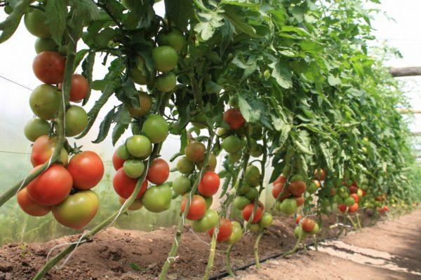 В зависимости от целей, помидоры собираются как в зрелом, так и в зеленом виде