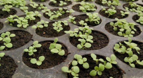 Важно следить за почвой во избежании пересыхания