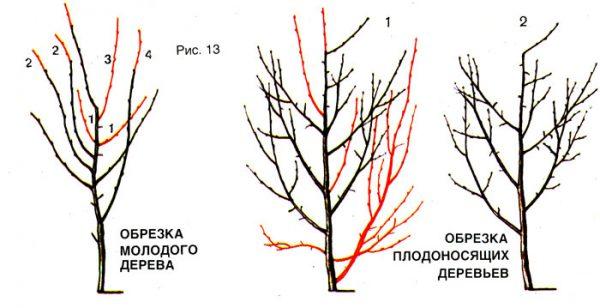 Весенняя обрезка сливовых деревьев