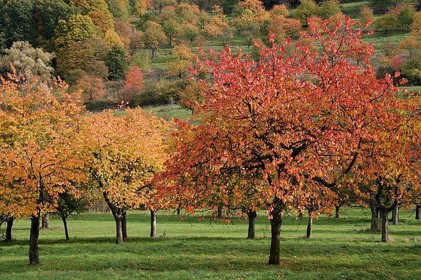 Время обрезки осенней вишни рассчитывается каждым садоводом исходя из климатических условий
