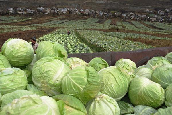 Время уборки капустного урожая значительно отличается в разных регионах России