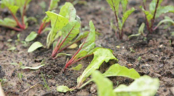 Выращивание свеклы с помощью рассады является самым эффективным способом в условиях Сибири