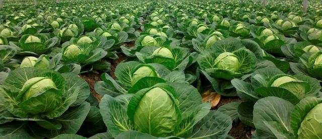 Выращивая разные сорта капусты, следует учитывать сроки ее созревания и особенности уборки