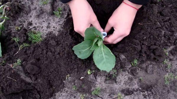 Высадка рассады кольраби на садовый участок