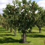Высокорослая яблоня