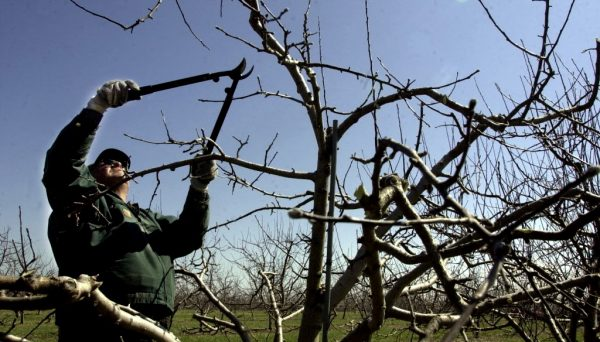 Яблоня не любит холода, потому осенняя обрезка должна быть очень умеренной