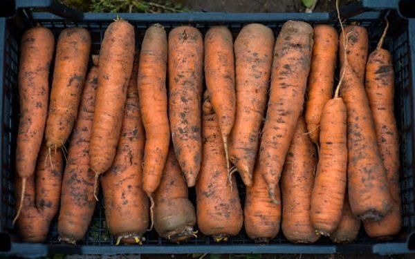Ящики с морковью желательно накрывать крышкой