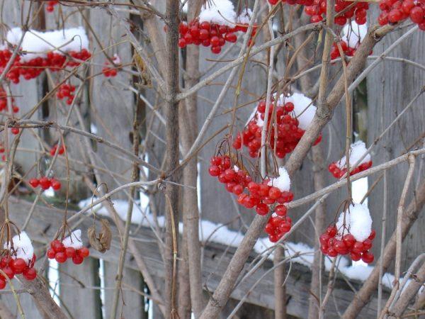 Желательно заканчивать обработки смородины еще к осени, чтобы зимой дать ей покой