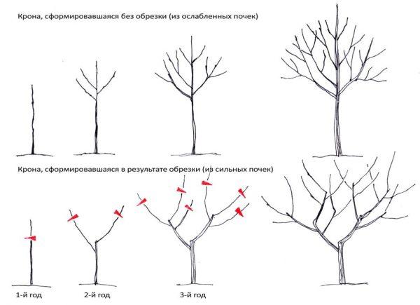 Заранее планируя укорачивание плодовых деревьев можно улучшить их структуру