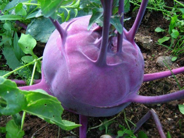 Здоровый плод капусты кольраби