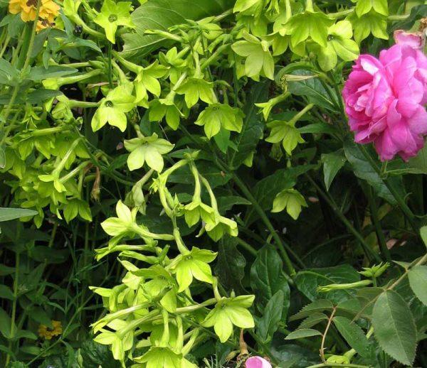 Зеленый свет - оригинальный сорт растения с лепестками салатного оттенка