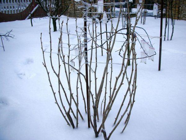 Зимой смородина очень хрупка, любые манипуляции с ее ветвями потенциально опасны