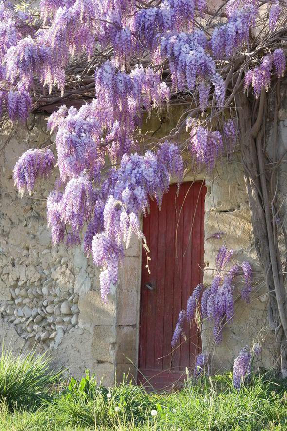 Глициния цветет