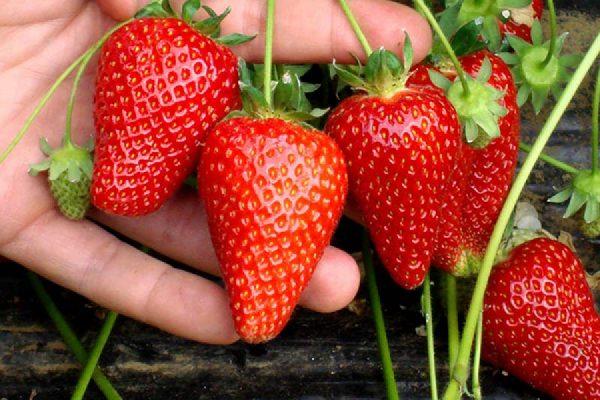 Всего ягода интересующей нас разновидности плодоносит два раза за одно лето