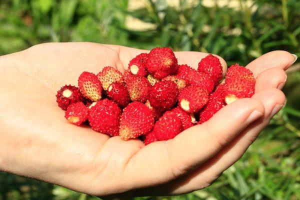 Содержание аскорбиновой кислоты составляет 120 мг на 100 г свежих ягод