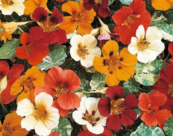 После цветения настурцию с клумбы необходимо удалить
