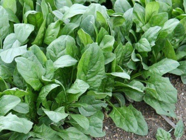 Искомая растительная культура высоко ценится за свои питательные свойства